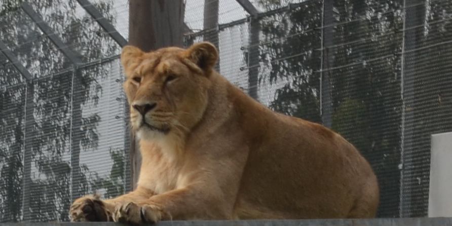 leona descansando