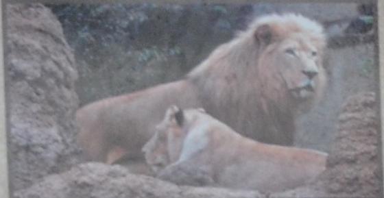 Leon sudafricano melena de león en peligro de extinción